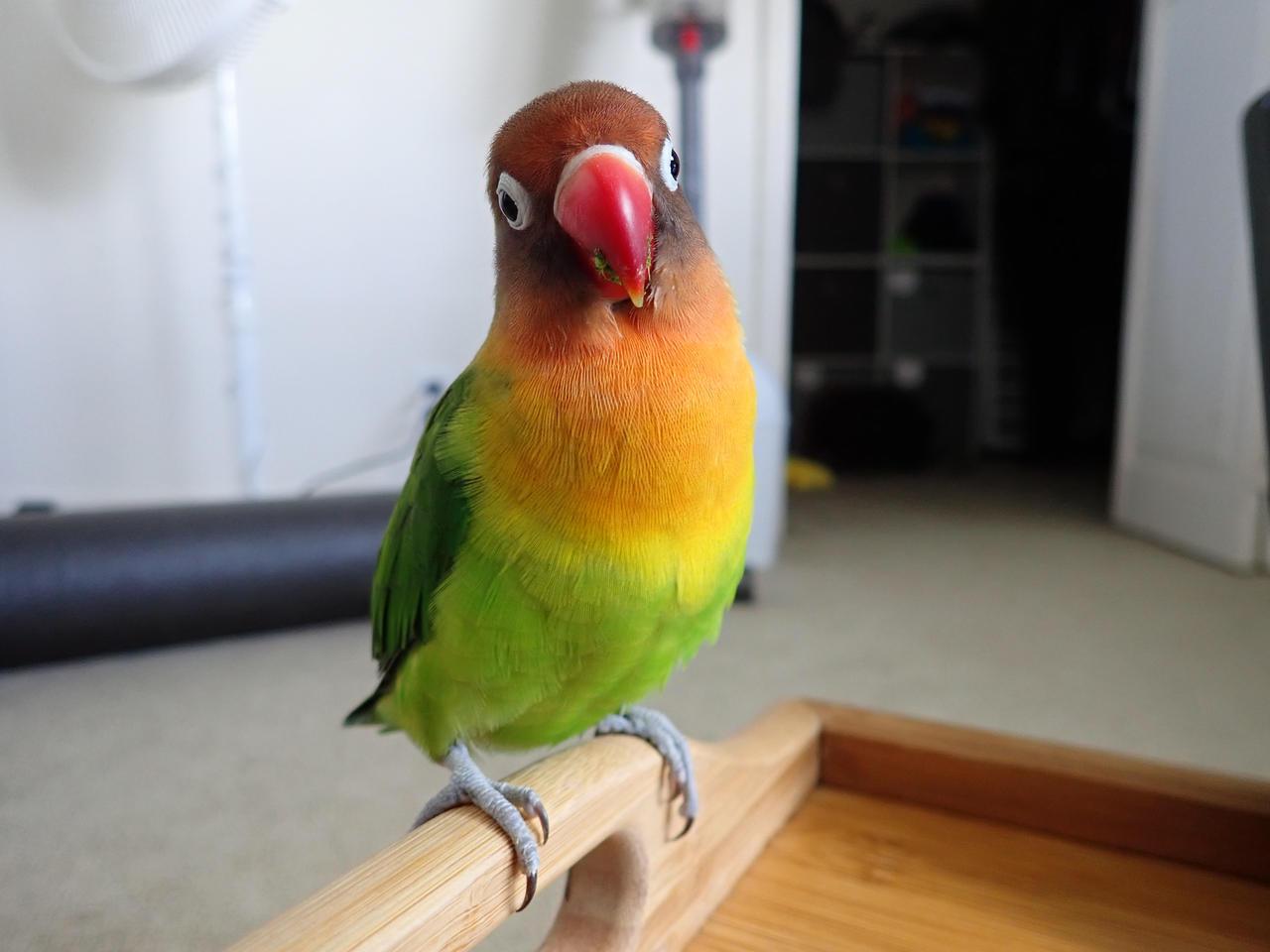 My Fischer S Lovebird Hilo By Jeymakspro On Deviantart