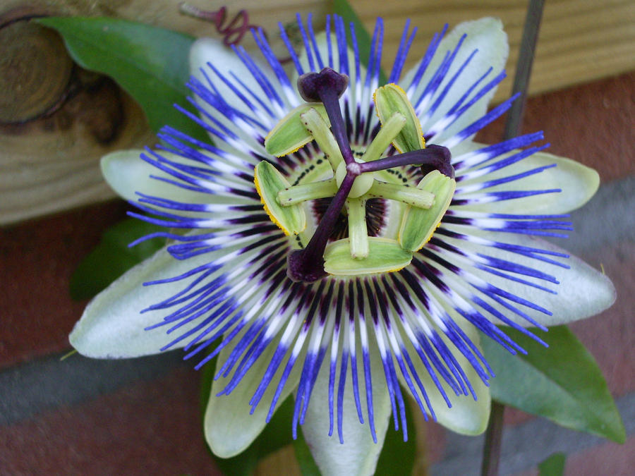 Passionflower by A-mieke