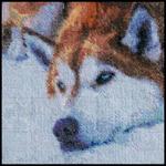 Cinnamon Husky