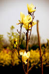 Yellow Flowers by zjulia