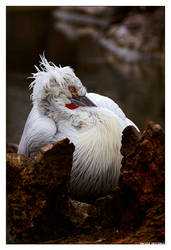 Dalmatian Pelican by OrcOPhoto
