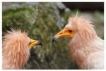 Egyptian Vulture 1