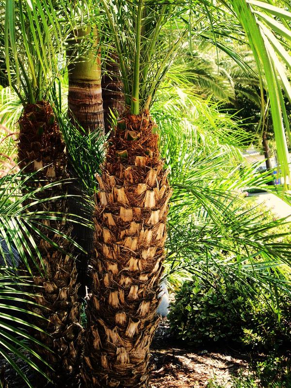 Baby Palms by VirginiaRoundy