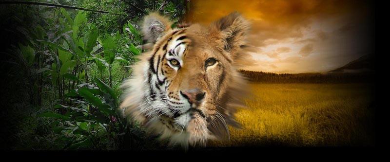 Tiger Vs Lion W...