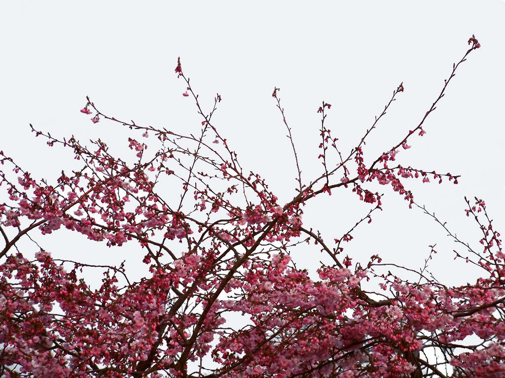 cherry blossom branch - photo #46