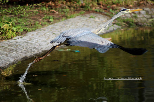 Gray Heron ready for take off