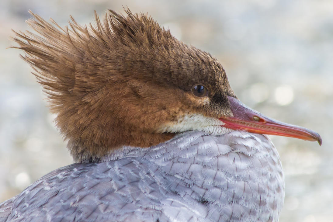 Common Merganser at the Danube in South Germany by AGerst