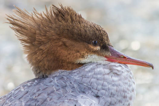 Common Merganser at the Danube in South Germany
