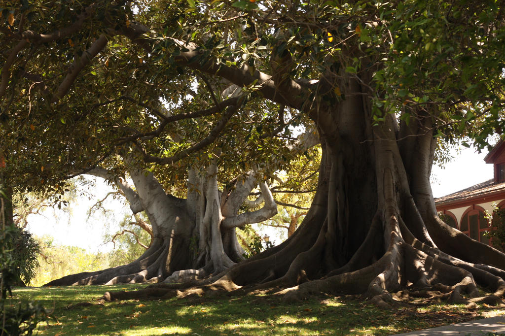 Bixby Ranch Historic Trees by pinknfuzzy4711