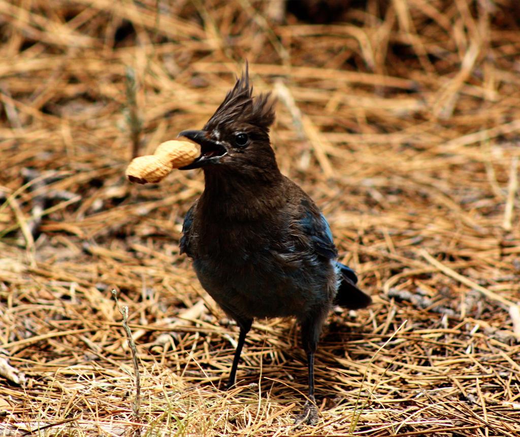 Blue Jay Takes a Peanut by pinknfuzzy4711