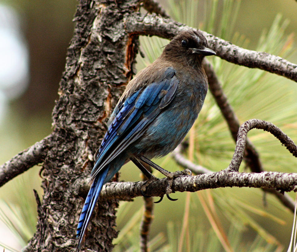 Blue Jay in a Tree by pinknfuzzy4711