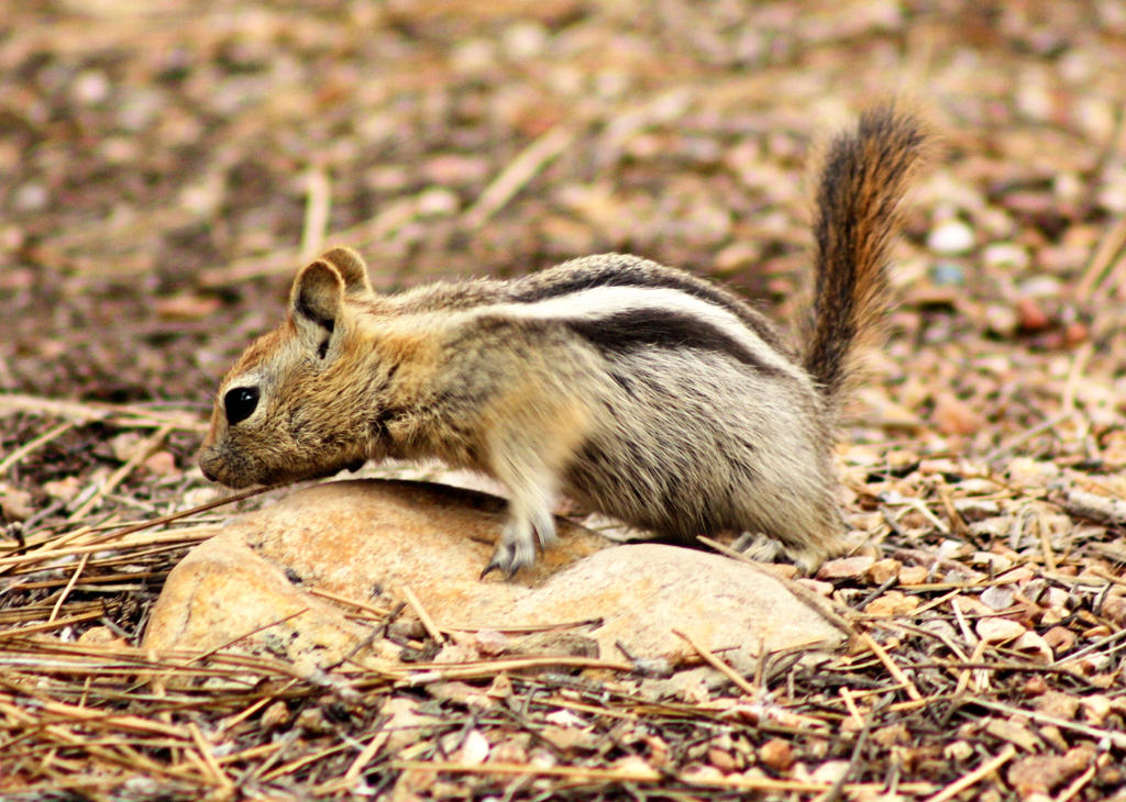 Chipmunk by pinknfuzzy4711