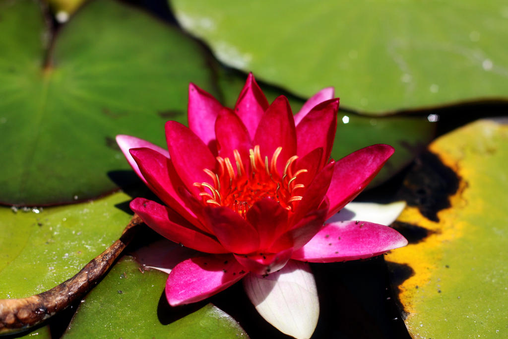 Pink Water Lily by pinknfuzzy4711
