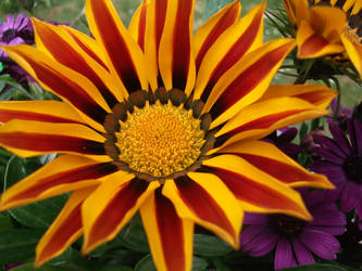 Gazania by PccMBsF