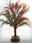 Maple Tree       Erable