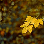 Autumn, Golden Trees