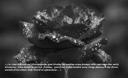 Une rose d'hiver...