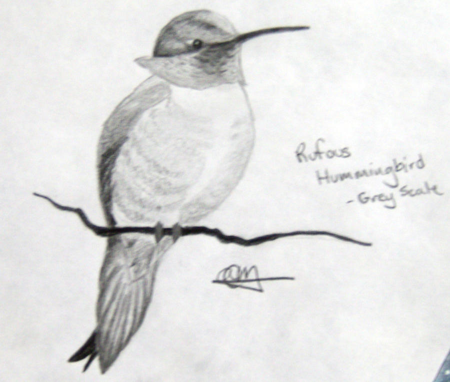 Rufous hummingbird drawing - photo#46