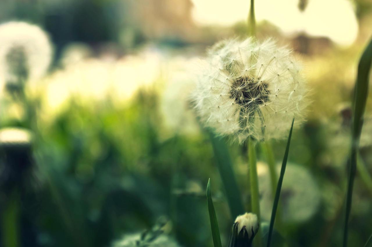Dandelion by JackieTran