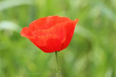 Poppy II by Bonyagirl