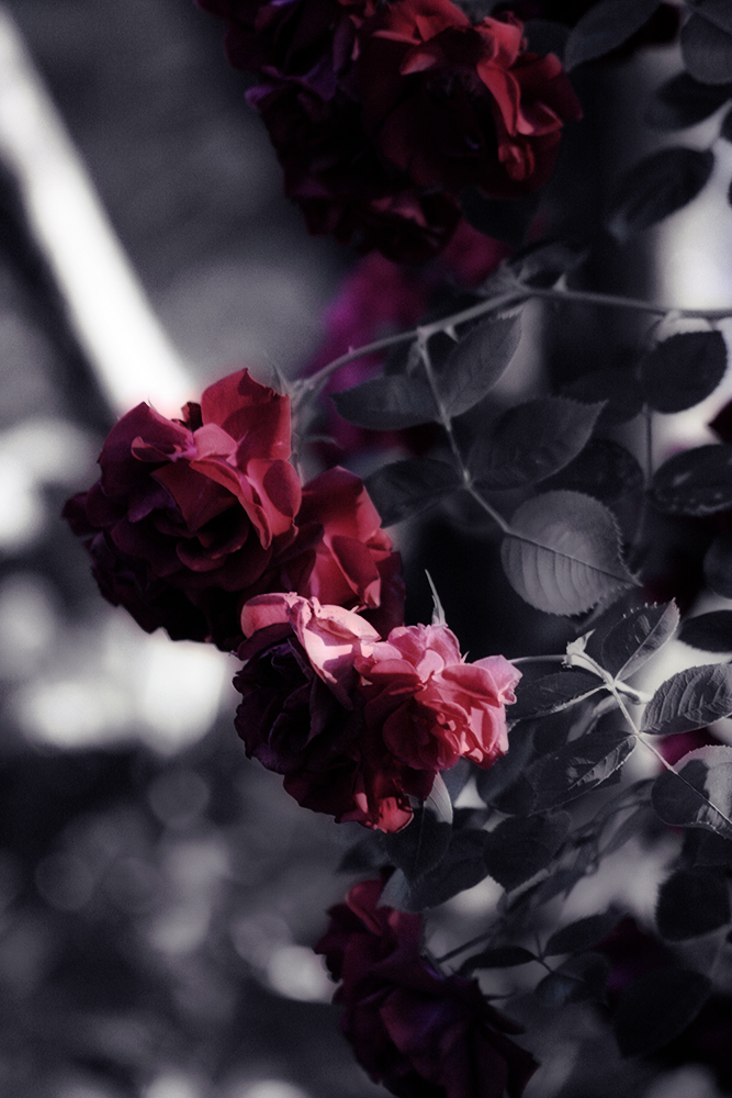 rose filtered by blackdahlia