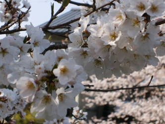 Sakura by the River by Immortal-Dreamer