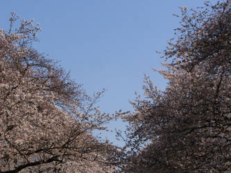 Sakura Against an Empty Sky by Immortal-Dreamer