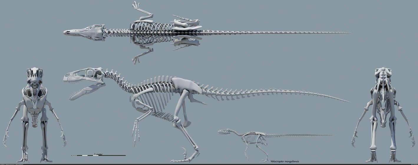 Utahraptor ostrommaysorum skeletal by MithosKuu