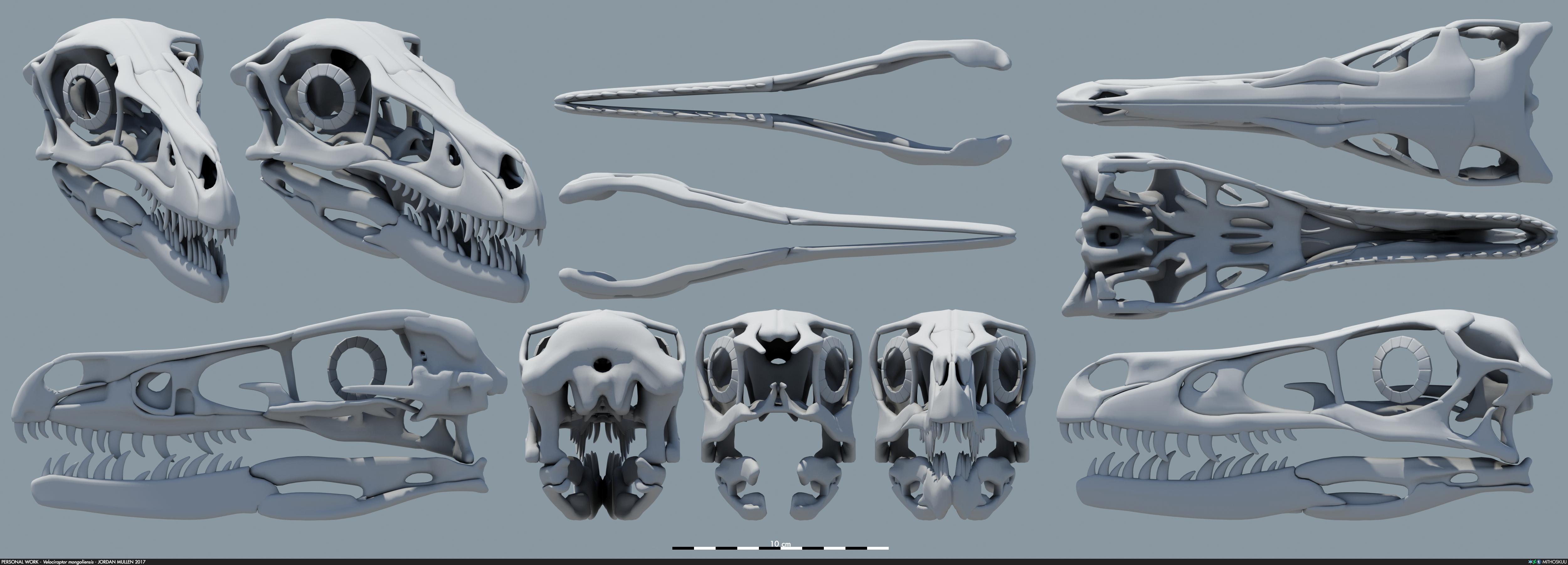 Life-size Velociraptor skeleton soon available as 3D ... |Velociraptor Skull Front