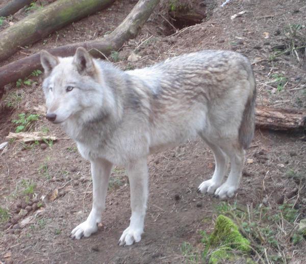 The MacKenzie Wolf Mackenzie_wolf_by_Sudrabvilks