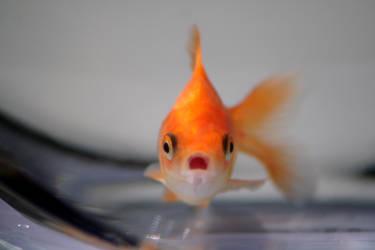 Goldfish IIII by cypherstock