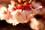 Sakura by erysfoly