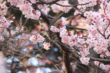 Bird and sakura by erysfoly
