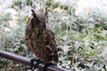 An owl in Osaka by erysfoly