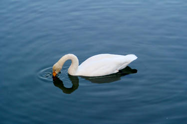 Lonely swan 2