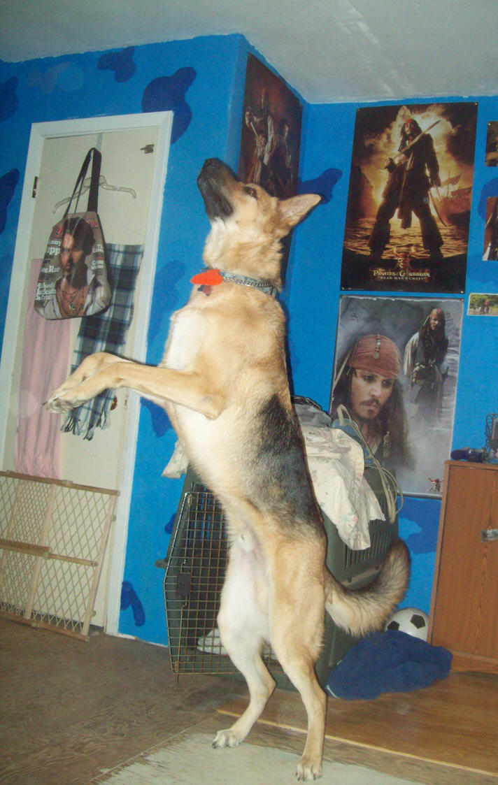 Jumpin German Shepherd by JohnnyDeppsGirl4life