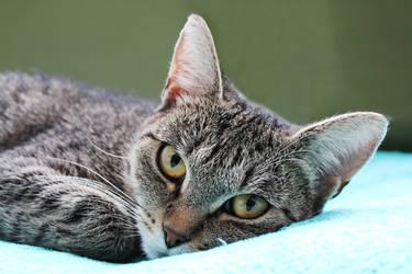 Cat VI by AmandaBlack
