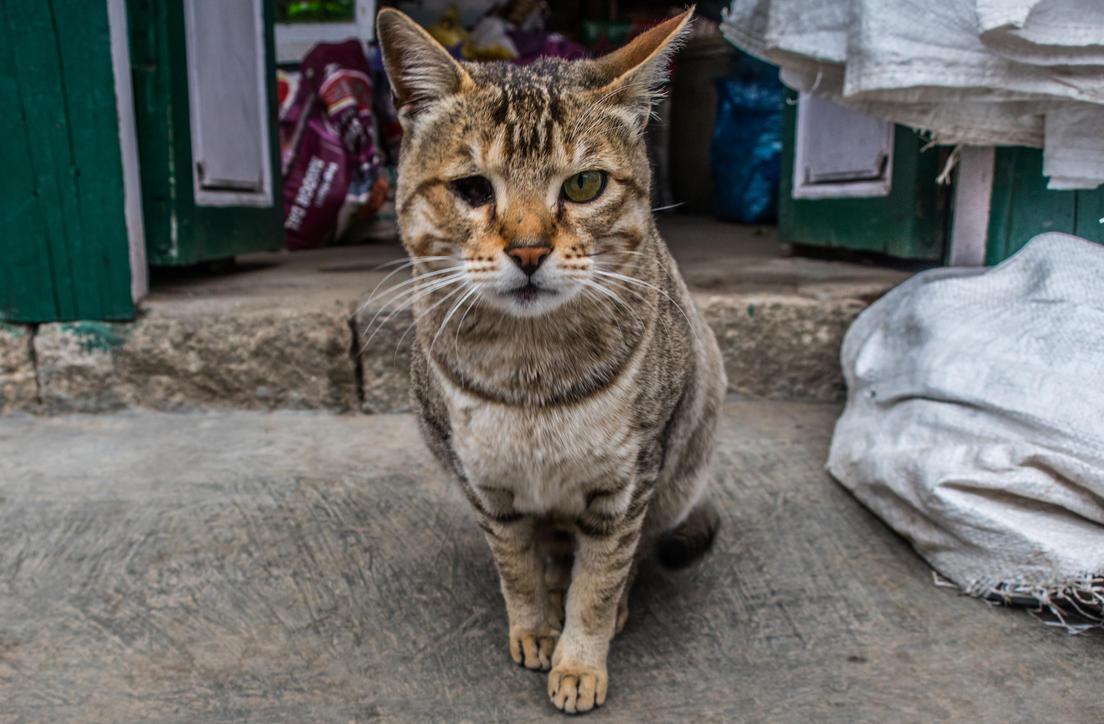 Steet cat in Nepal by ice-grip