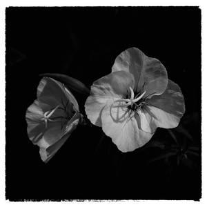 Evening Primrose by jhps