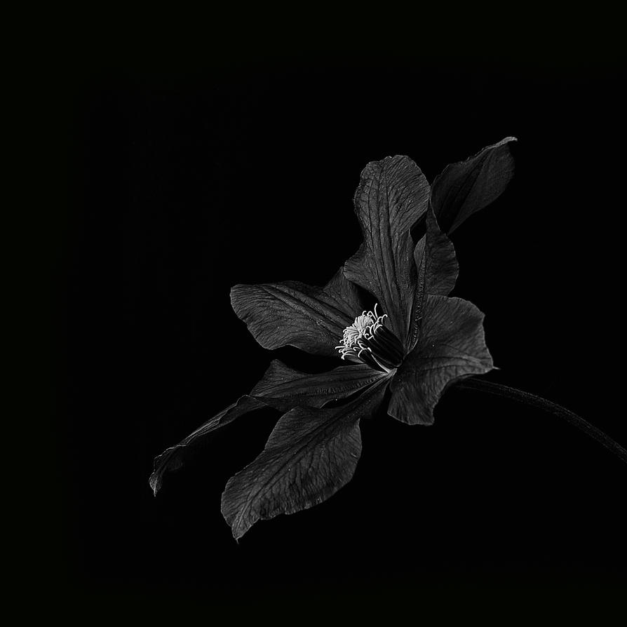 Clematis IV by jhps