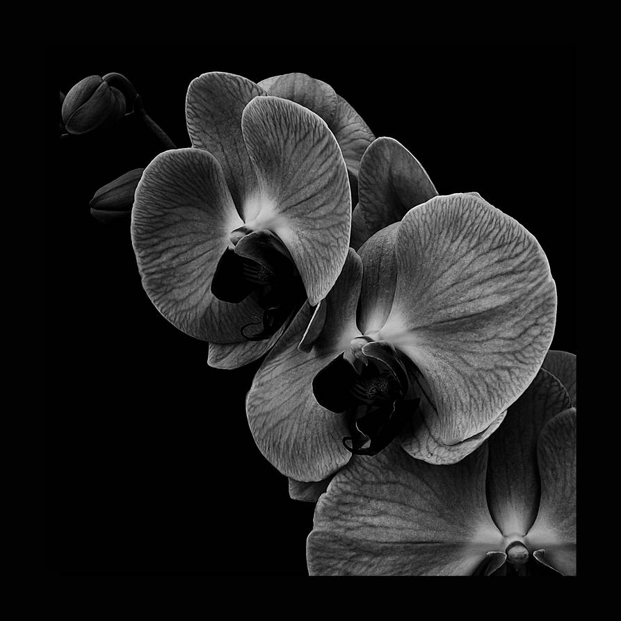 Orchid III by jhps