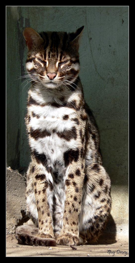 Leopard Cat Sun Bath by GIJoe666