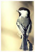 Black Capped Chickadee by Kaosah