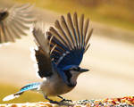 Bluejay taking off by Kaosah