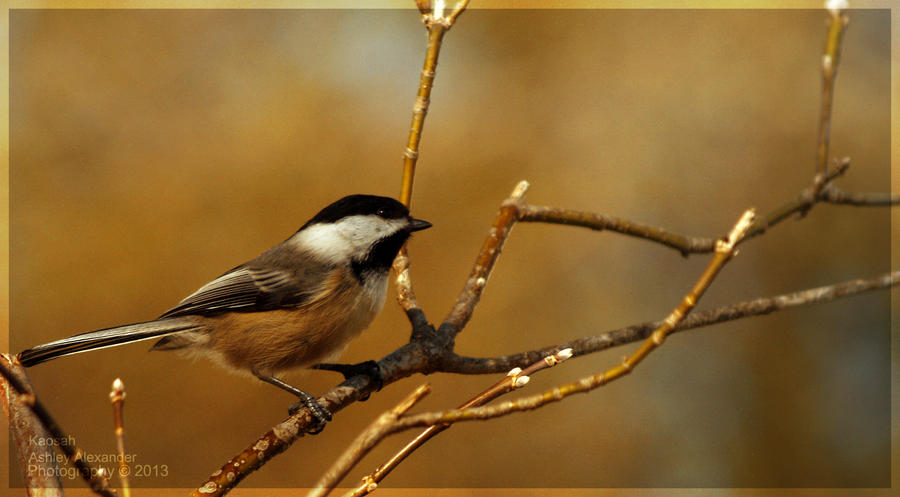 Black Capped Chickadee by Kaosah