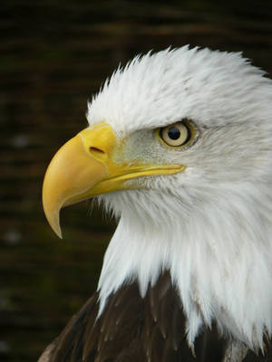 The Bald Eagle by e-s-d