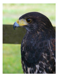 Portrait of a Harris Hawk by e-s-d