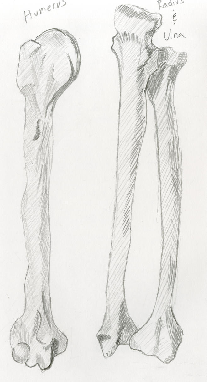Humurus Radius Ulna by damekage on DeviantArt