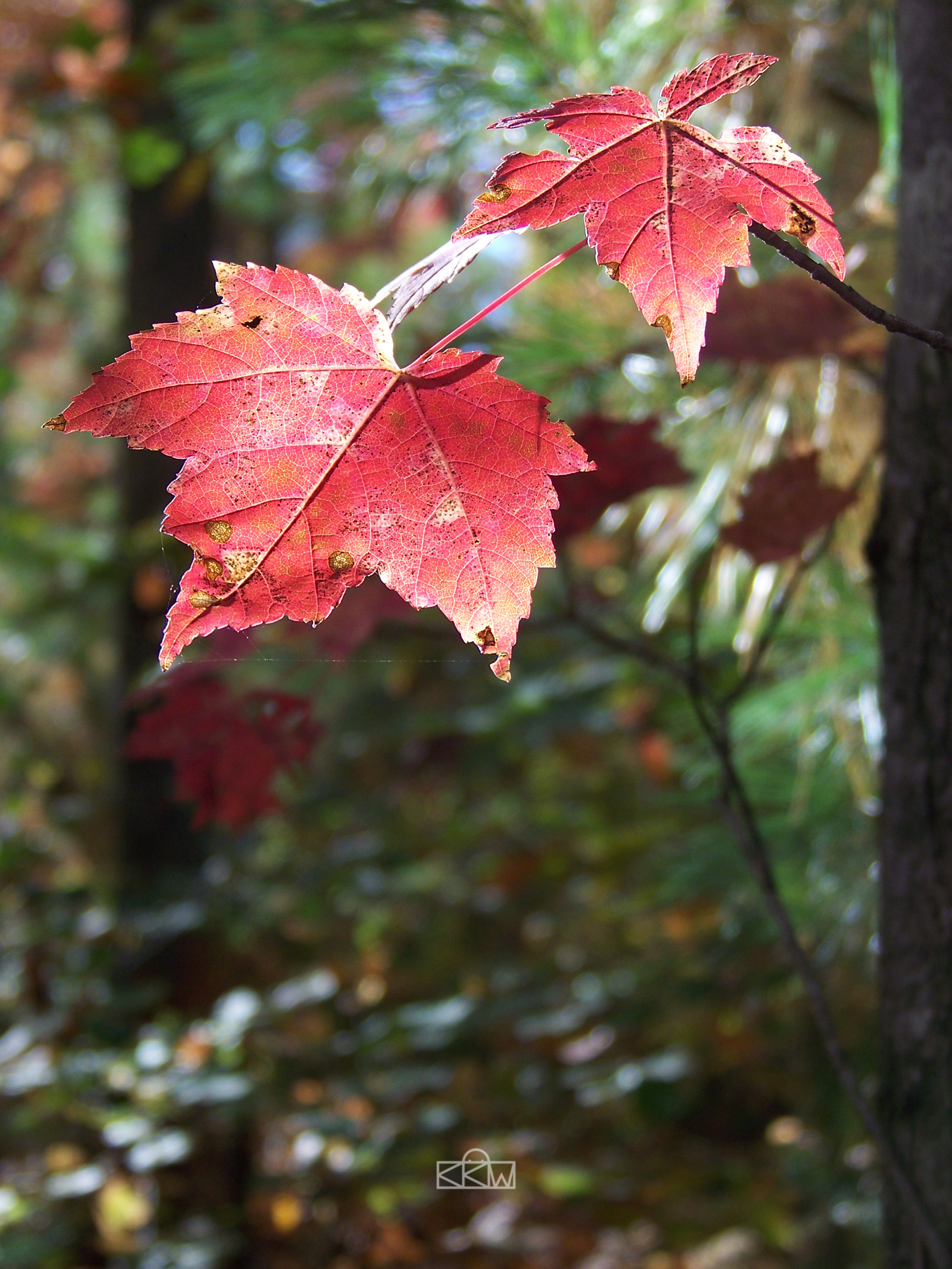 More Pretty Red Leaves (of Death) by Crigger