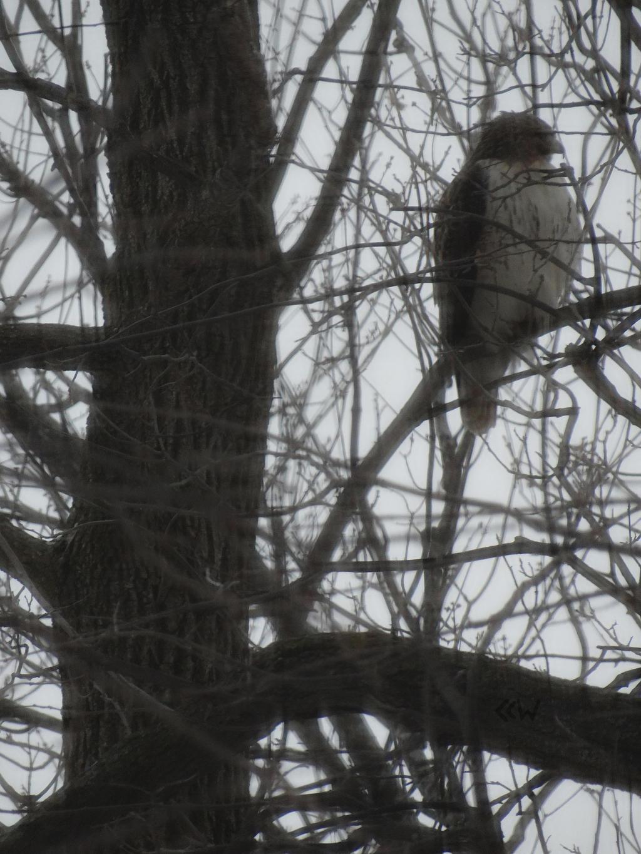 Hawk in a Tree, Appleton, WI 02/26/2017 8:22AM by Crigger